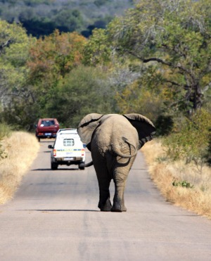 King of the road: An elephant roams in South Africa's Kruger National Park.