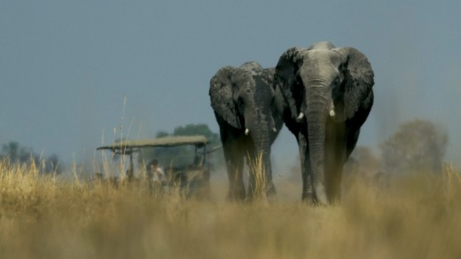 Elephants stroll through the Okavango.